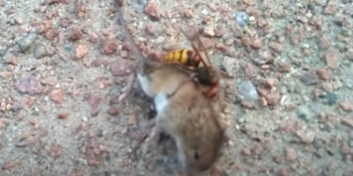Video de una avispa asesina matando a un ratón prende las alarmas