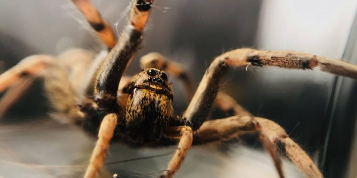 Científicos afirman: araña del Ártico está aumentando de tamaño y ahora sería caníbal