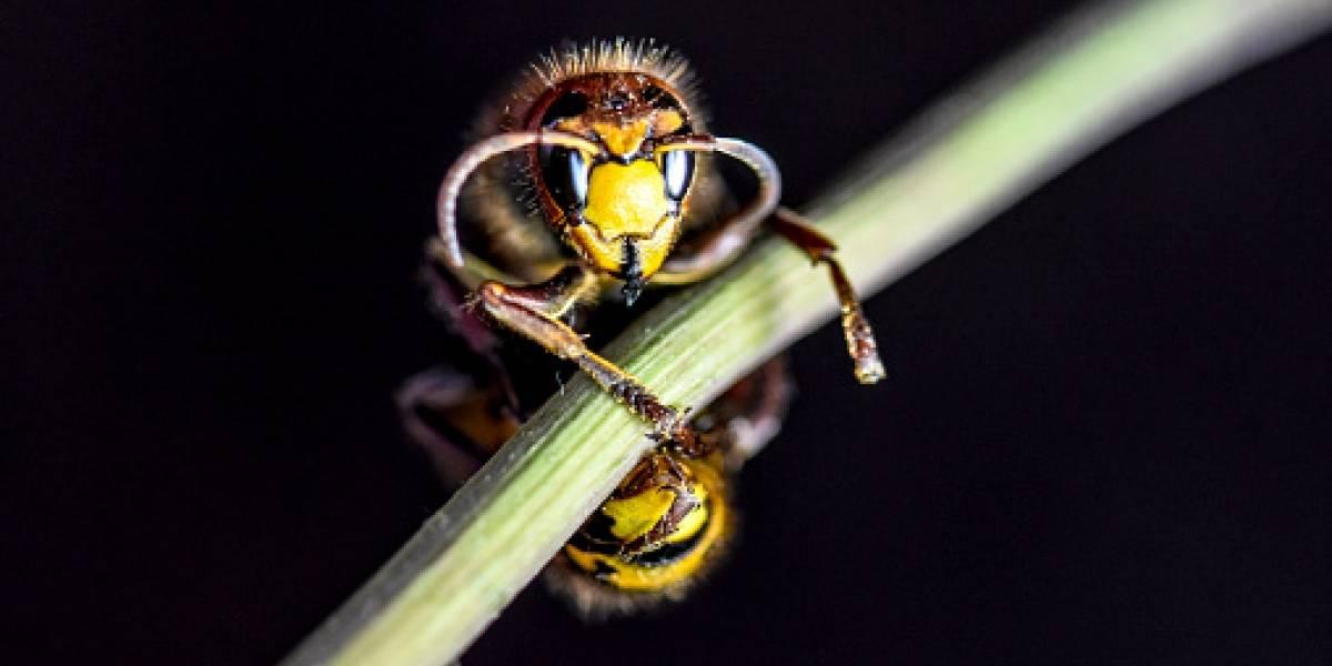 ¿La vespa mandarinia o el avispón gigante asiático podría llegar a Sudamérica?