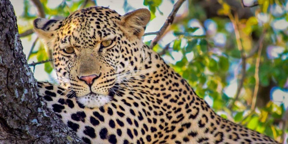 Safári de graça: parque na África do Sul transmite ao vivo passeios com animais
