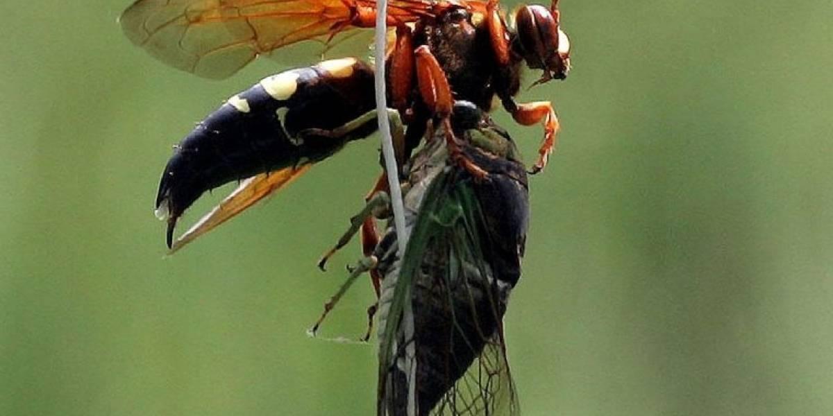 """""""Avispas asesinas"""" siguen destruyendo colmenas en Washington y las autoridades no encuentran el nido"""