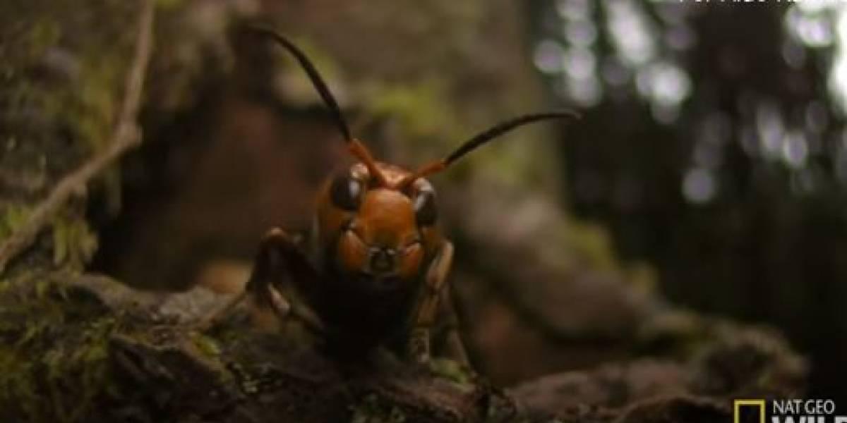 (VIDEO) Grupo de abejas asesina a avispones gigantes