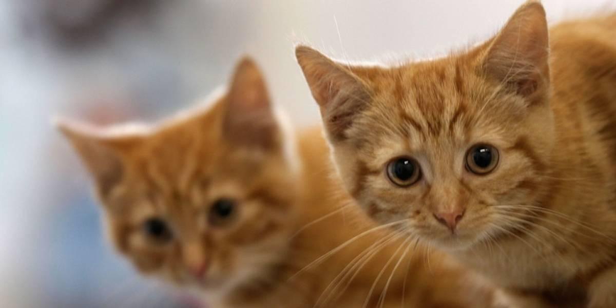 Los gatos son una especie más susceptible al coronavirus, según la OMS
