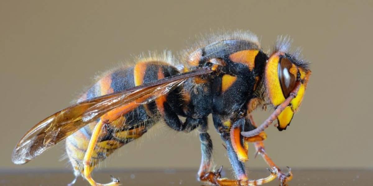 Autoridades descartam que vespas assassinas que causam pânico nos Estados Unidos já estariam na America do Sul