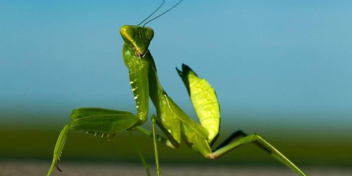 Conoce al insecto capaz de matar al avispón asesino