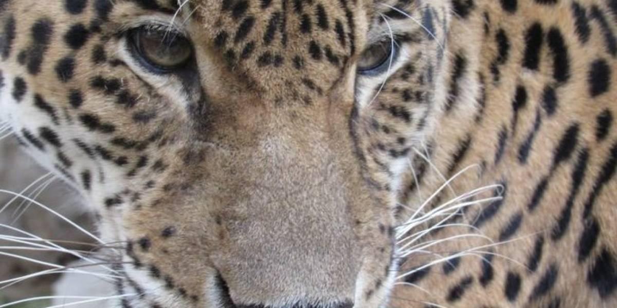 Un jaguar y sus crías pasearon a sus anchas durante el periodo de aislamiento