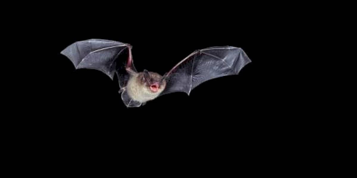 ¿Los murciélagos son los culpables de la pandemia del coronavirus?