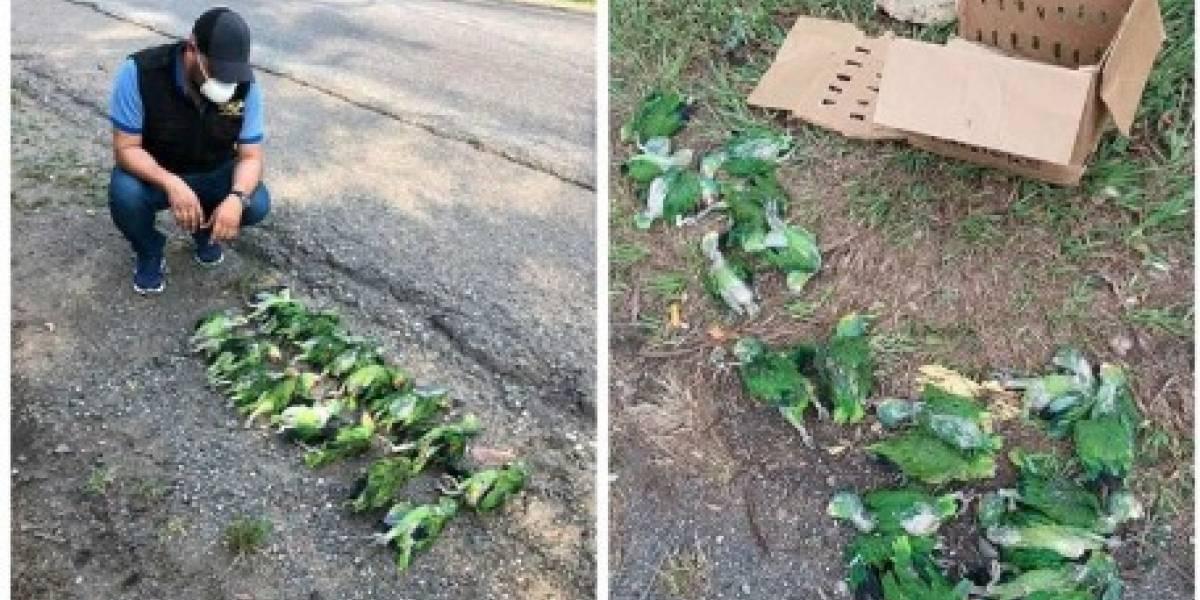 Localizan loros muertos a orillas de una carretera en Petén