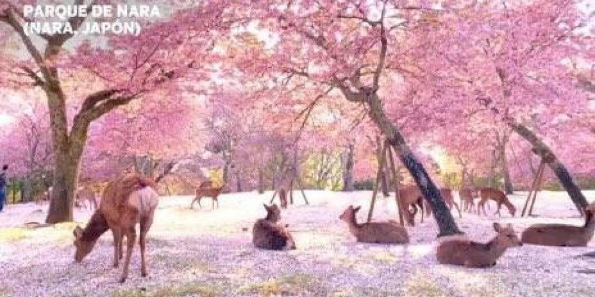 La hermosa postal que dejaron los ciervos descansando bajo flores rosadas en Japón
