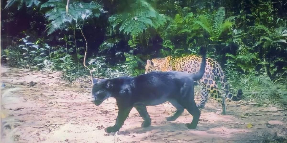 El jaguar y el puma: reclaman territorio y autoridades median conflicto en la cuarentena
