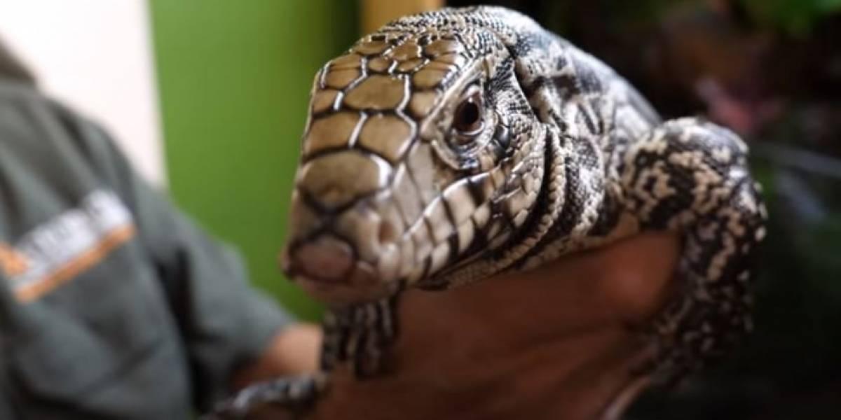 ¡Ahora son lagartos! Especie argentina invade en Estados Unidos