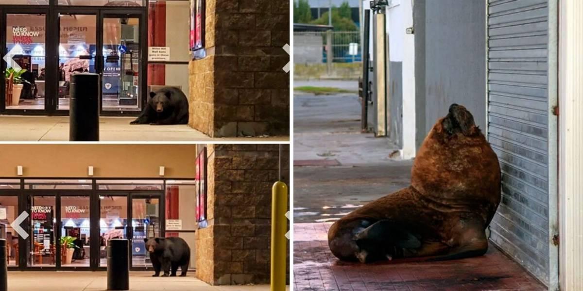 Com humanos em quarentena, animais ocupam as cidades; confira alguns flagras impressionantes