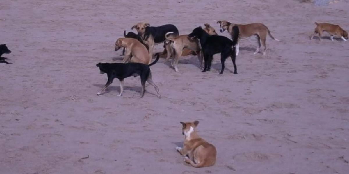 Manada de perros hambrientos devoraron vivos a más de 20 chivos