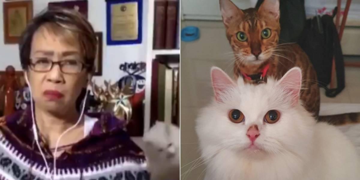Vídeo mostra briga de gatos interrompendo transmissão ao vivo de jornalista e faz sucesso nas redes sociais
