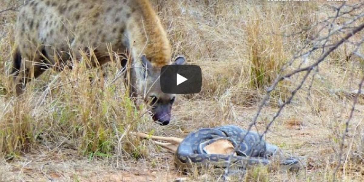 Vídeo em que hiena rouba presa de píton impressiona as redes sociais