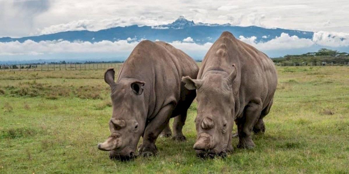 Safari pasa la cuarentena viendo la transmisión en vivo de los dos últimos rinocerontes blancos en África