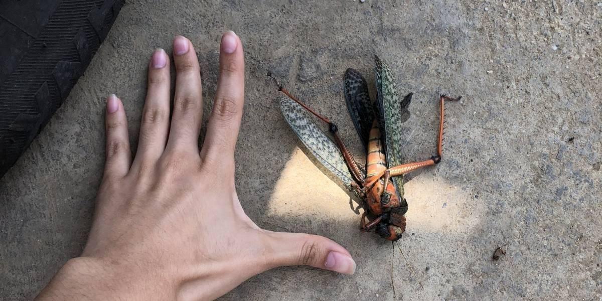 ¡Espeluznante! Insecto gigante de 15 centímetros causa impacto en Venezuela