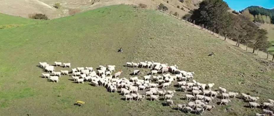 perro robot ovejero