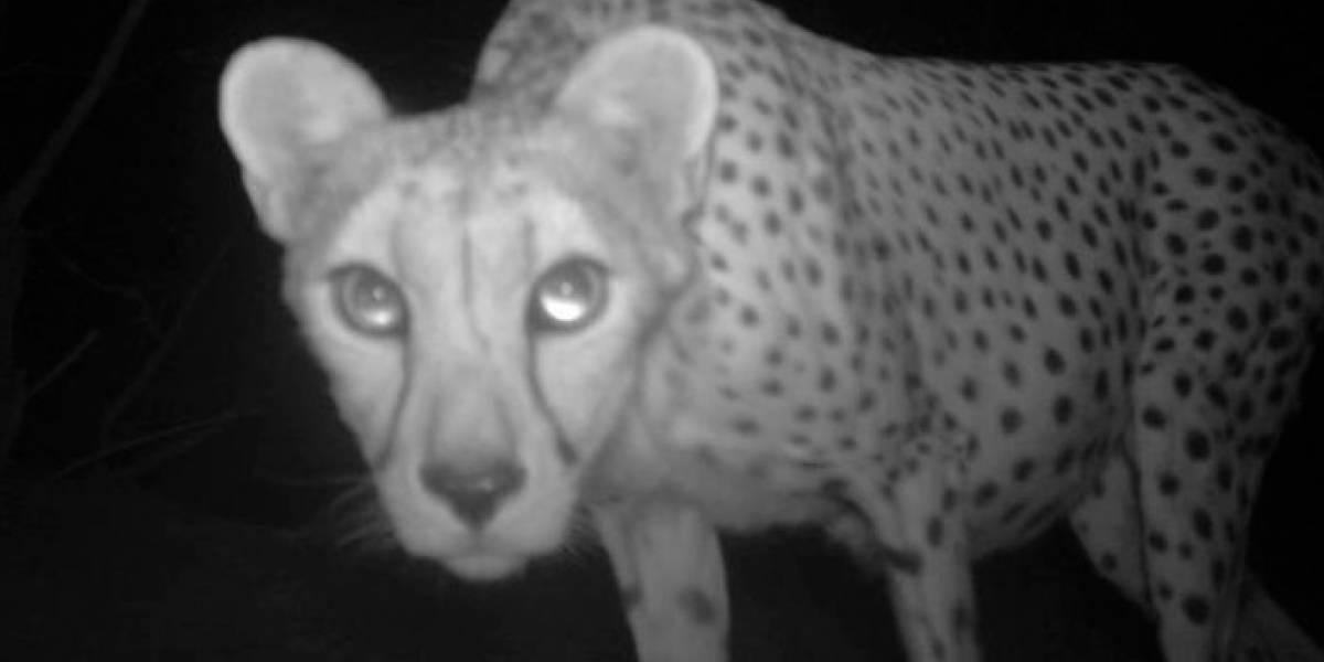 """Avistado por primera vez en 10 años en Argelia un """"guepardo del Sahara"""""""
