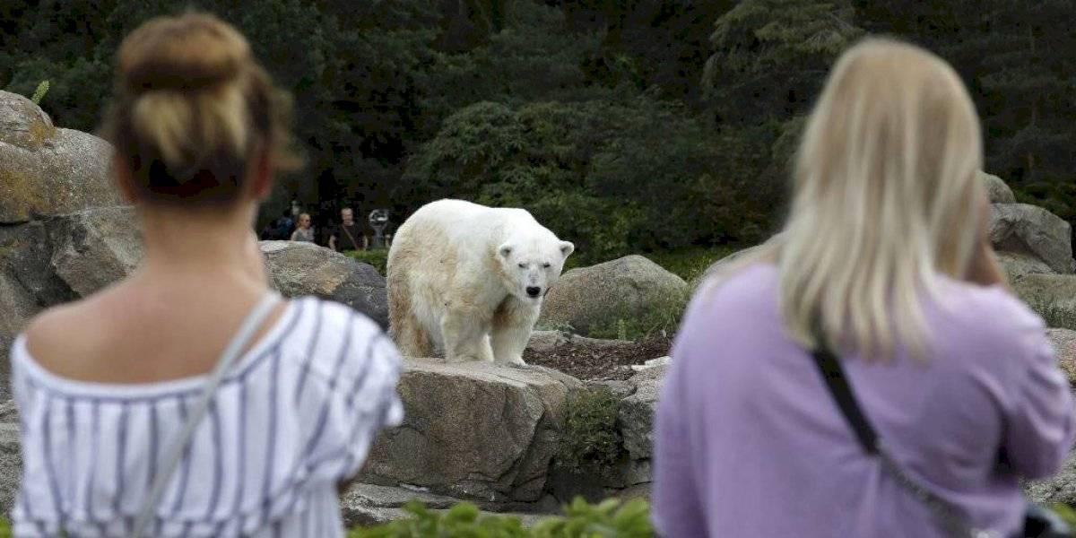 VIDEO | Oso polar atacó a un humano en ciudad a la que volvió aprovechando la cuarentena