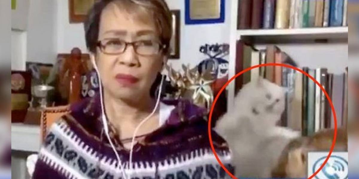 Pelea de dos gatos mientras su dueña presentaba un programa en vivo