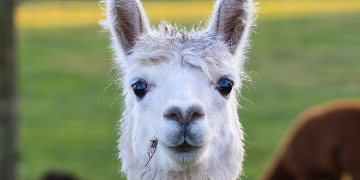 Vacuna peruana contra el coronavirus ya se prueba en alpacas: primero comenzaron con gallinas
