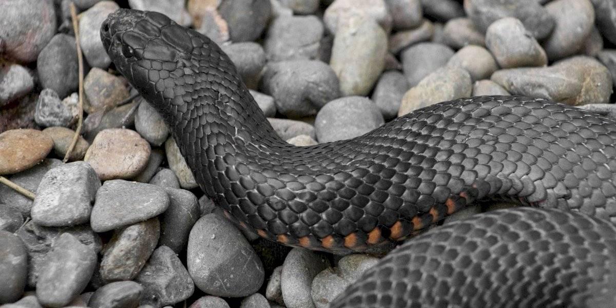 Vídeo mostra cobra venenosa escondida em quarto de crianças