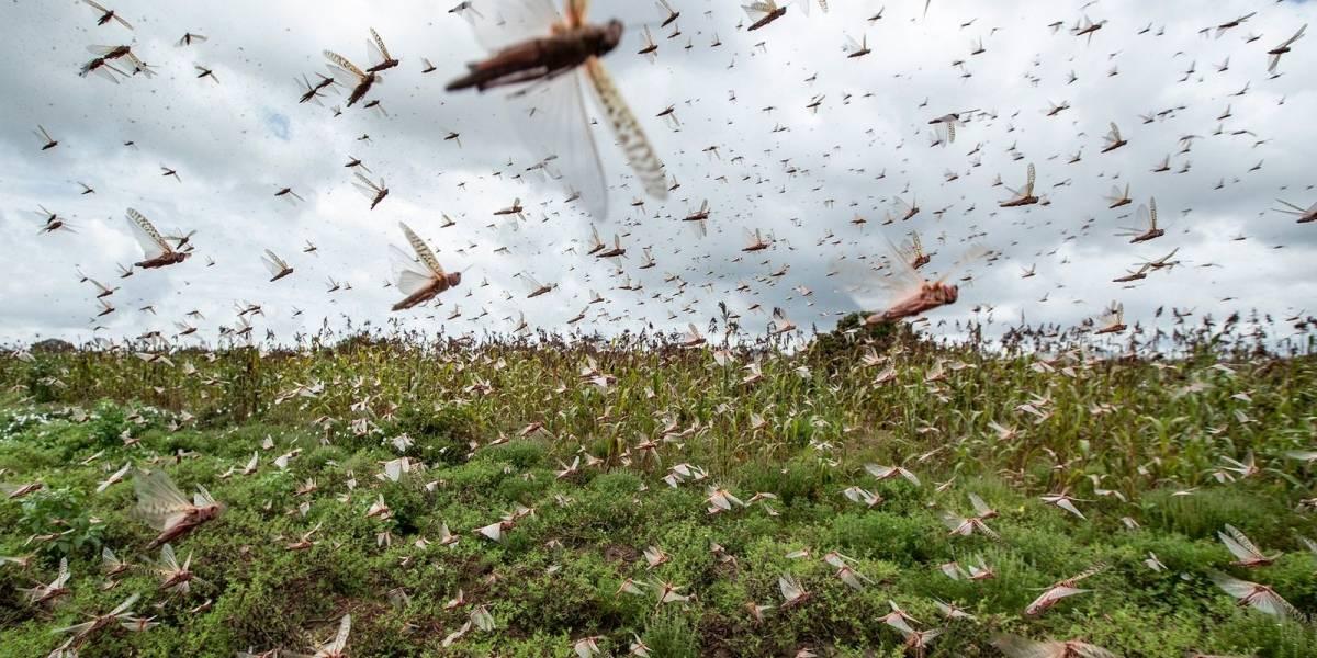 Plaga de langostas se instaló en Argentina y amenaza con avanzar a Brasil