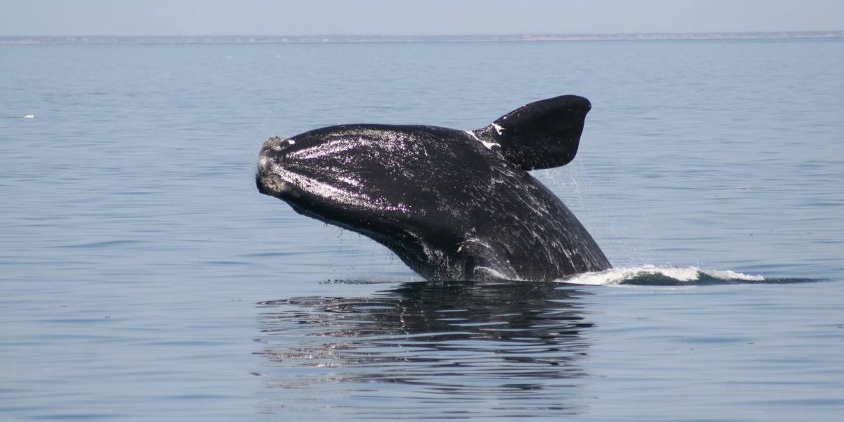 Le quedan 20 años a la ballena franca del Atlántico Norte por el cambio climático y la caza