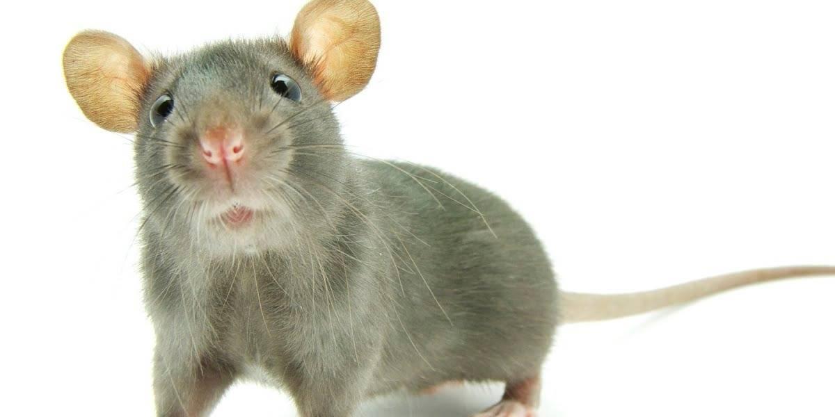 Coronavirus: se cumple pronóstico y ratas hambrientas caníbales asaltan las calles