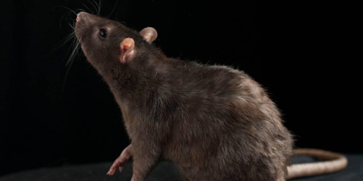 Las ratas tienen los mismos dilemas morales que los humanos