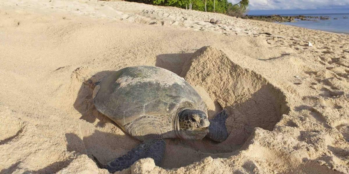 Saquean nidos de tortugas marinas en Piñones