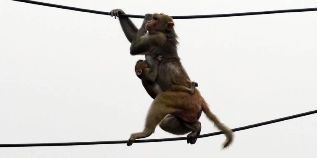 Monos se robaron muestras para test de coronavirus desde un laboratorio: hay un video e incluso uno masticó su botín
