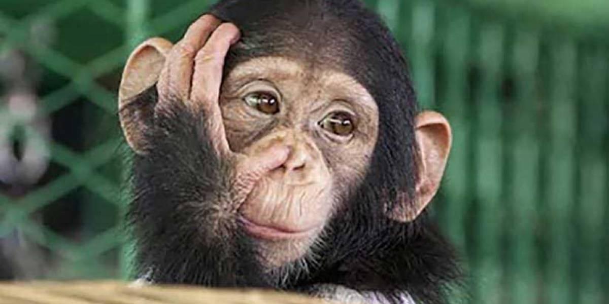 Monos roban muestras de sangre con Covid-19, en India