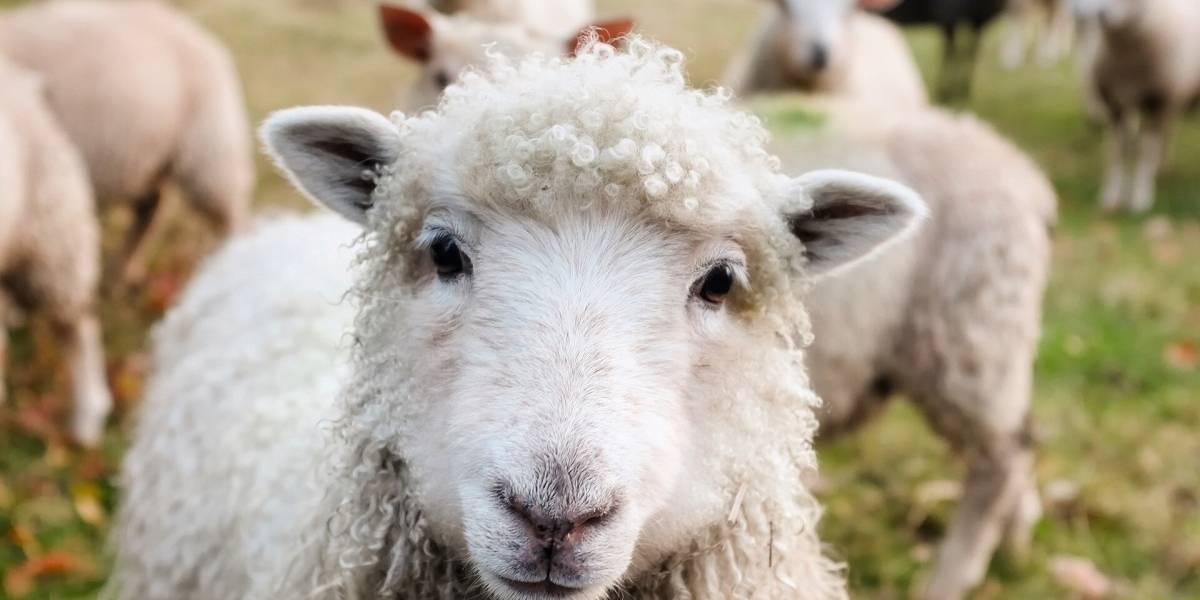 """En una oveja: veterinarios de la U. de Chile probaron ventilador mecánico de la Usach en ese animal """"por su similitud con el sistema respiratorio humano"""""""
