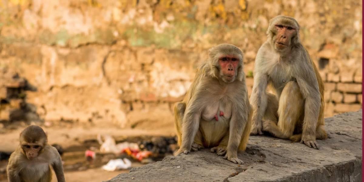 Coronavirus: monos roban la sangre infectada de humanos
