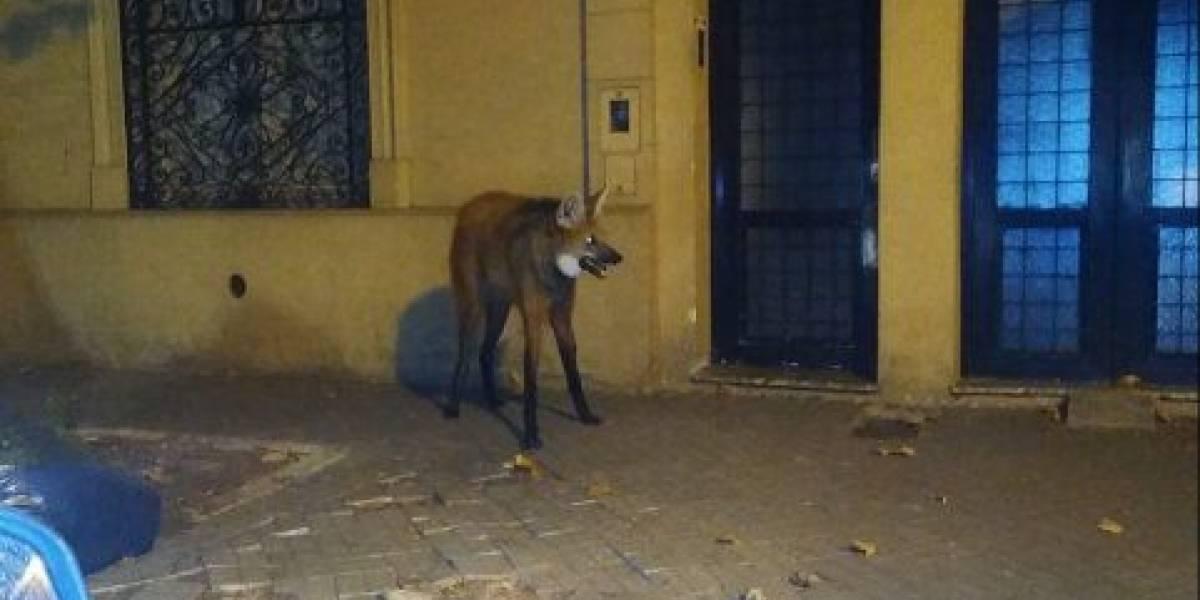 Efecto cuarentena: avistan a lobo gigante de más de un metro de alto en plena calle