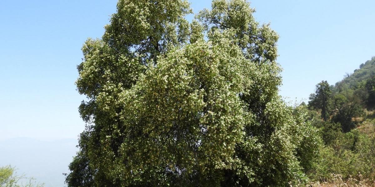 Quillay: el árbol chileno que puede ser clave en vacuna para el coronavirus