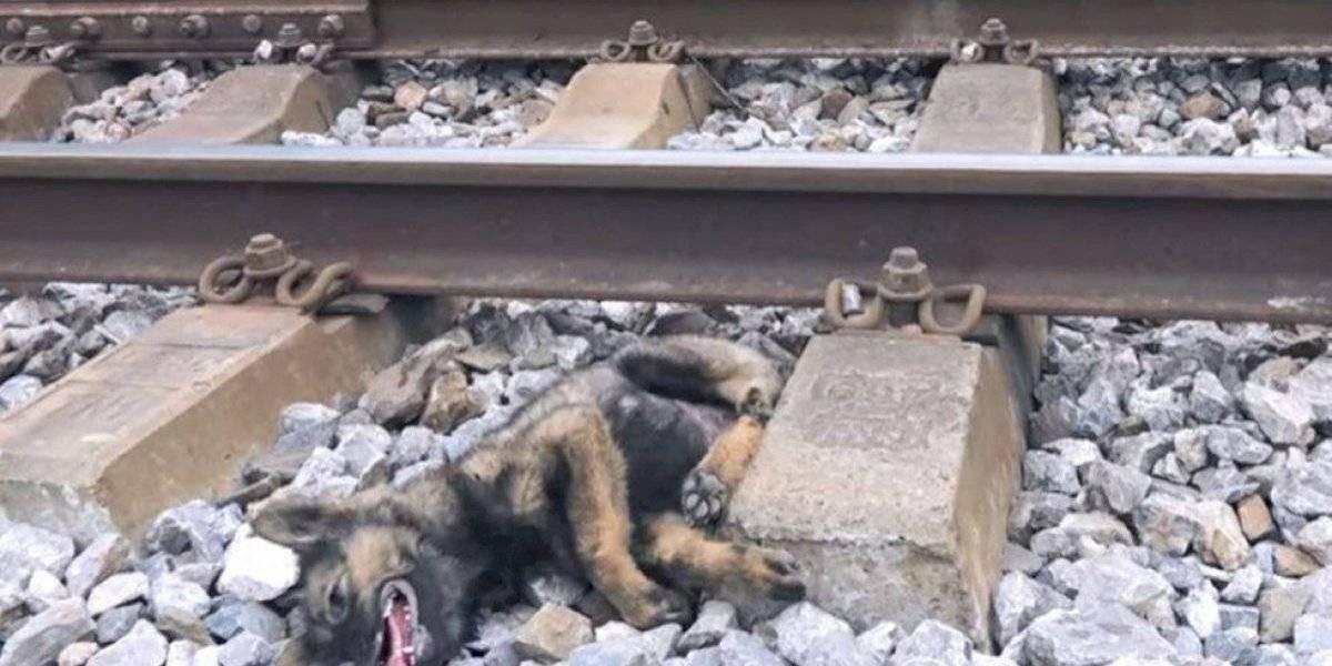 Lo apedrearon, le quebraron una pata y lo tiraron a las líneas del tren: cachorro fue rescatado y sobrevivió a las torturas