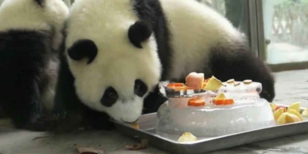 Com calor, pandas estão comendo bolos gelados na China; veja vídeo