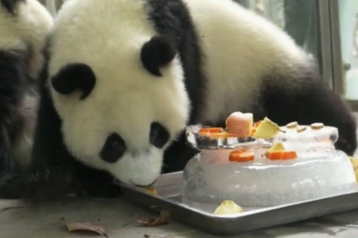 Com calor, pandas estão comendo bolos gelados na China; veja vídeo | Metro Jornal