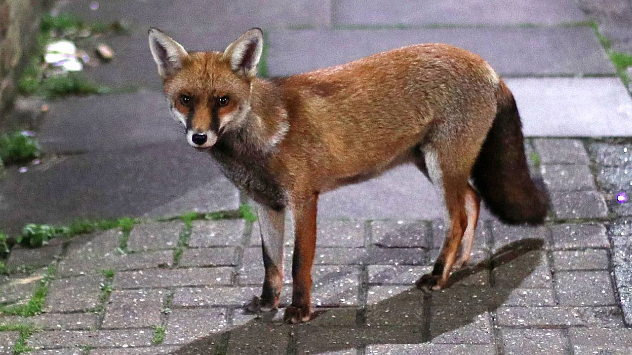 Ciencia zorro rojo urbano