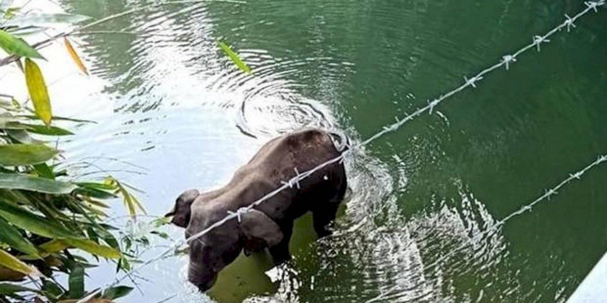 Elefanta preñada murió al comer una fruta con petardo — Crueldad máxima
