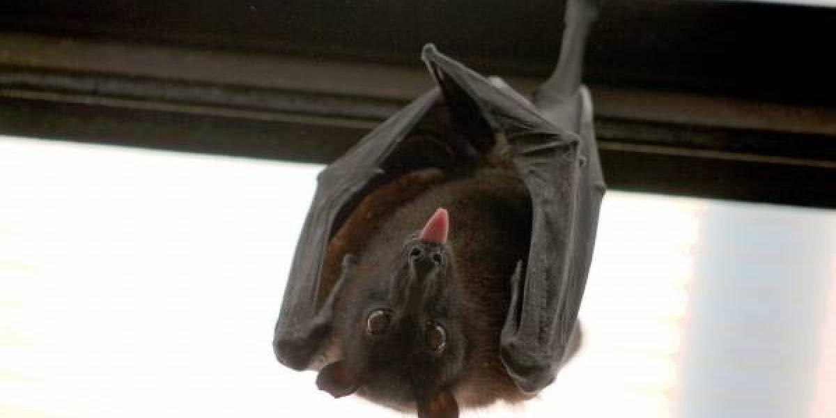 Encuentran nuevos tipos de coronavirus en murciélagos de China