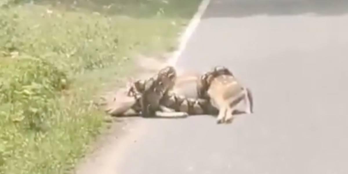 Impresionante video: ciervo escapa de una pitón de más de tres metros... Con ayuda humana