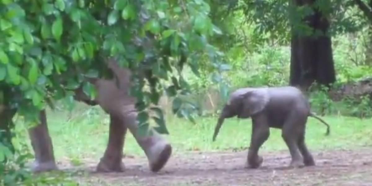 Vídeo de elefante recém-nascido aprendendo a andar encanta as redes sociais