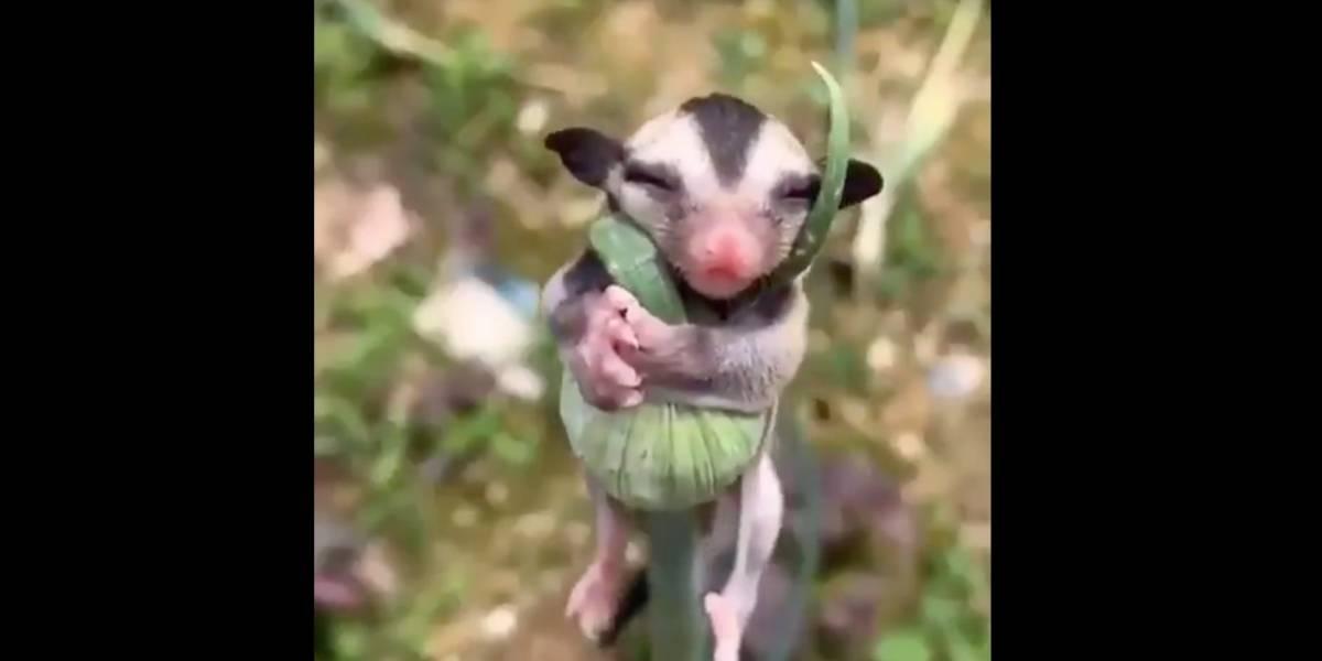 ¡El video más tierno! Una cría de zarigüeya durmiendo abrazada a una planta