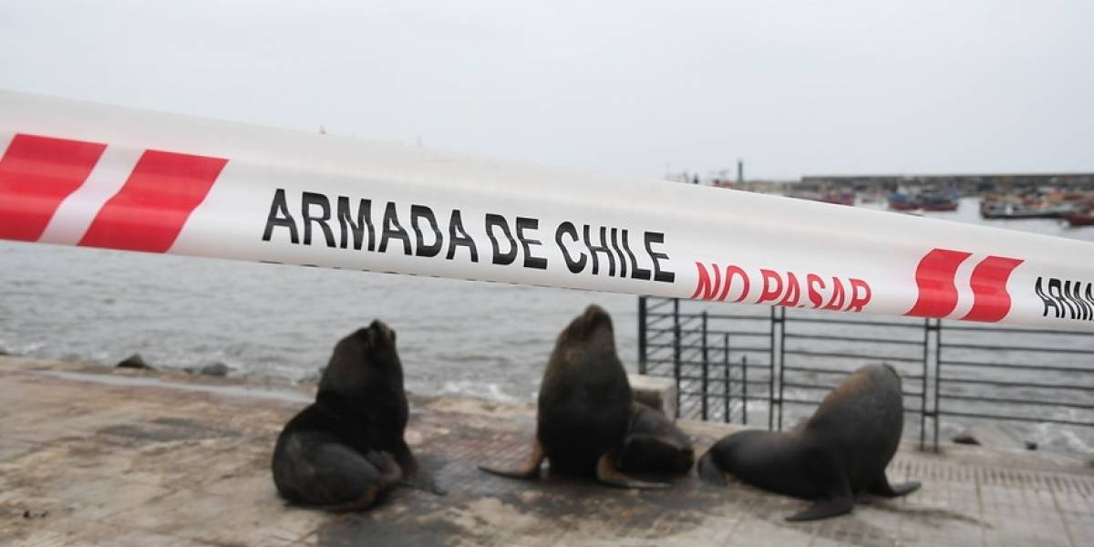 El otro lado del encierro humano: lobos marinos reaparecen en paseo peatonal de Antofagasta