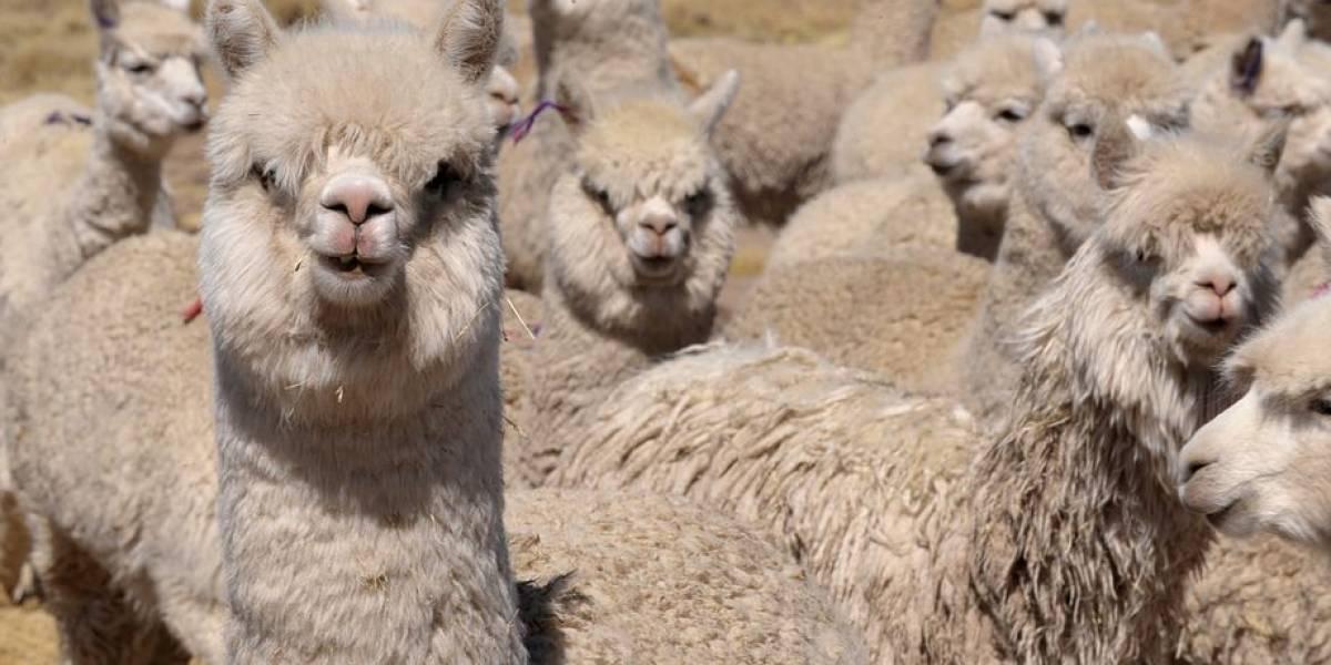 """El """"anticuerpo más fuerte del mundo"""" contra el covid-19 está en las alpacas: fue descubierto por la U. Austral y harán un inhalador nasal con él"""