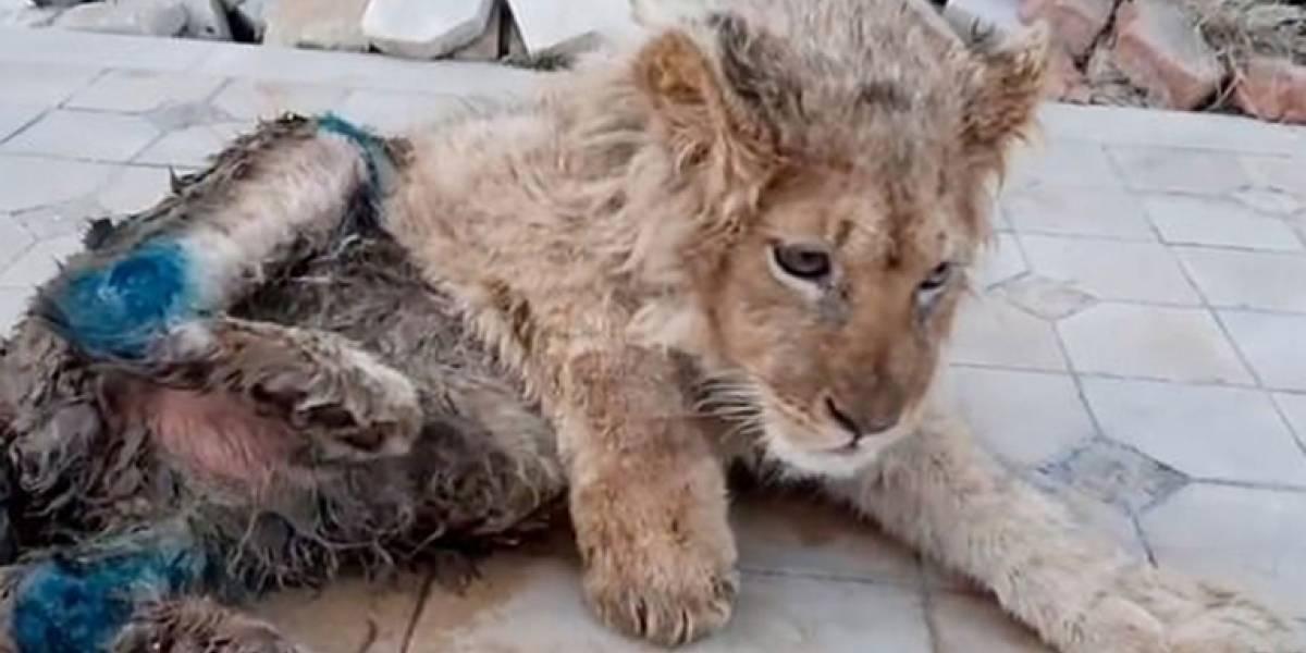 Fotógrafo le quiebra dos patas a cachorro de león para sacar selfies: el mismo Putin ordenó perseguir al culpable